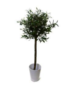 oliventre plante