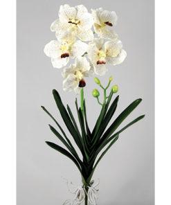 Orkidee kvist med blader og røtter - Wanda