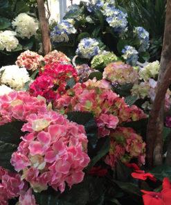 Hortensiaplante
