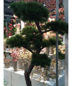 Pinus tre
