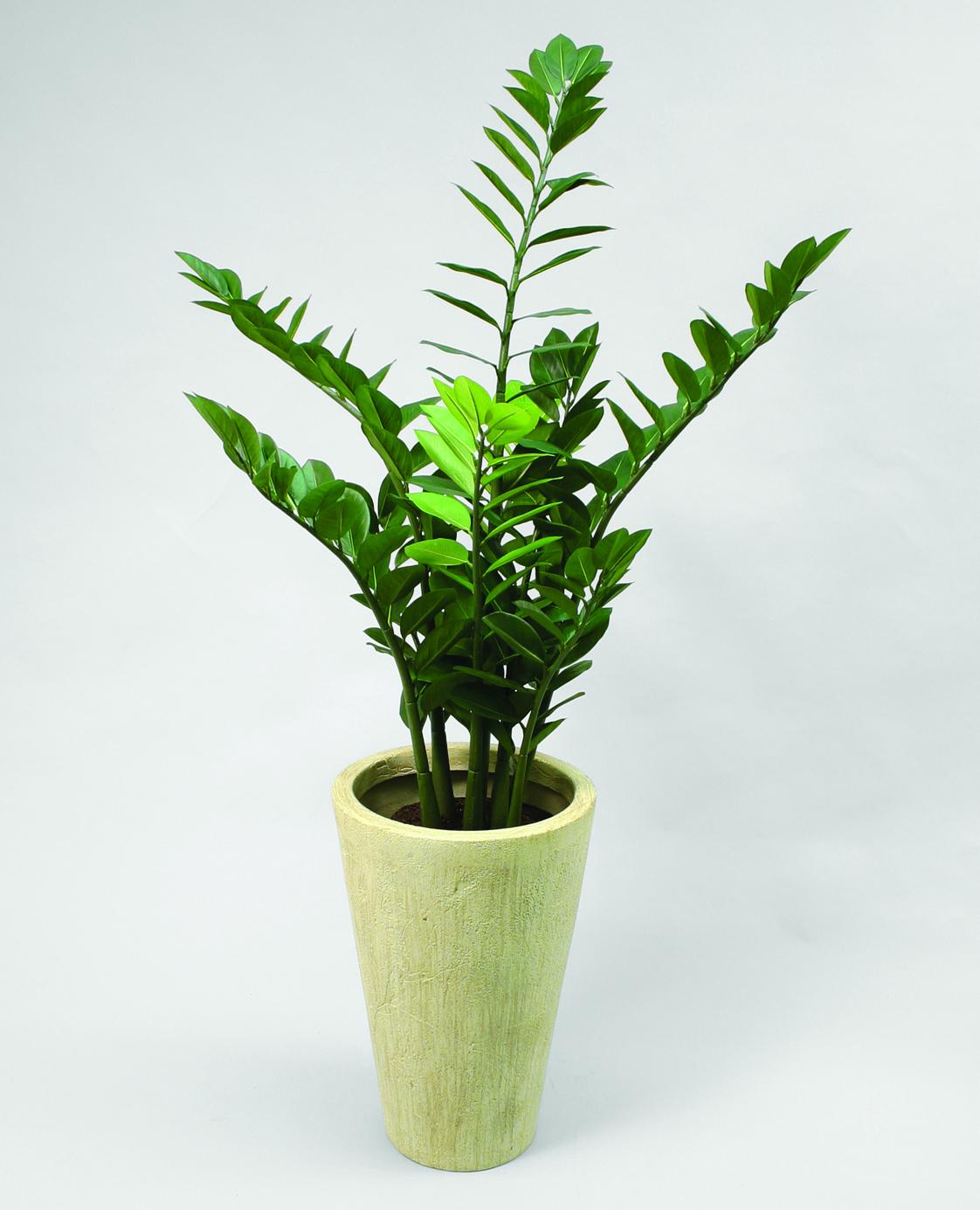 Zamifolia