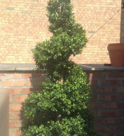 Boxwood spiral 130 cm
