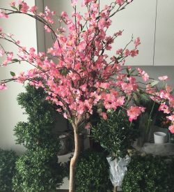 Cherry blossom, kirsebærtre