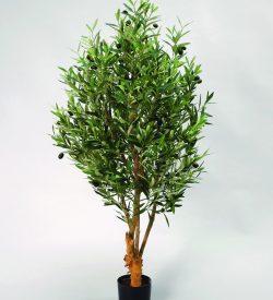 Oliventre med kraftig stamme