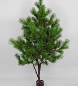 Pinus tre 170 cm