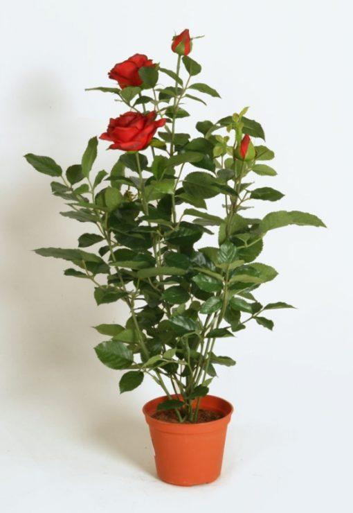 Rosebusk 60 cm