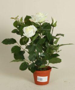 Rose 35 cm